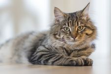 Free Portrait Of Tabby Cat Stock Images - 84937124
