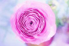 Free Pink Rose Stock Photo - 84937190