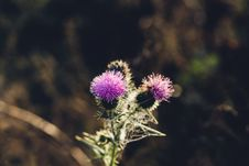 Free Thistle Flower Royalty Free Stock Image - 84937356