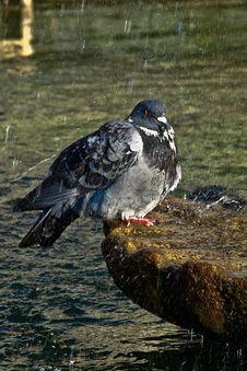 Free Black White Pigeon Royalty Free Stock Image - 84937366