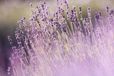 Free Lavender Flowers Stock Photography - 84937882