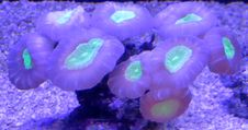 Free Green-and-purple Coral Stock Image - 84937961