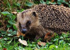 Free Hedgehog In A Garden Stock Photography - 84938472