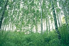 Free Green Forest Trees Royalty Free Stock Photo - 84938515