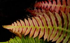 Free Blechnum Novae-zelandiae,&x28;palm-leaf Fern &x29; Royalty Free Stock Images - 84938569