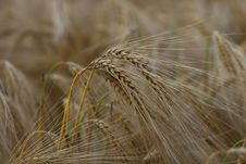Free Wheat Crops Stock Image - 84938711