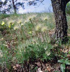 Free Pasqueflower / Pulsatilla / Kökörcsin Royalty Free Stock Photography - 84938917