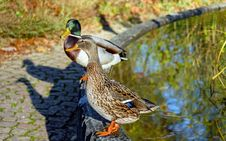 Free Close-up Of Mallard Ducks On Water Stock Photography - 84938982