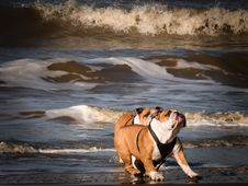 Free Bulldogs Playing On Beach Stock Photo - 84939110