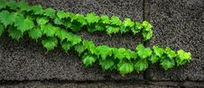 Free Ivy On Wall Stock Images - 84940374