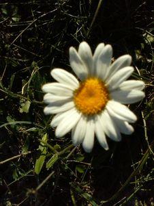Free White Daisy Royalty Free Stock Photo - 84940695
