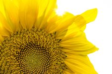 Free Close Up Of Sunflower Royalty Free Stock Photos - 84940728