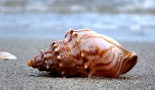 Free Whelk.A Day On The Beach. Royalty Free Stock Photos - 84940798