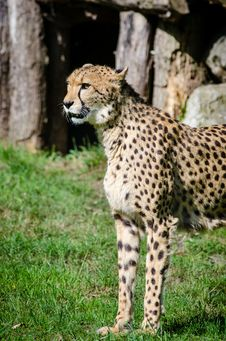 Free Cheetah Stock Photography - 84941212