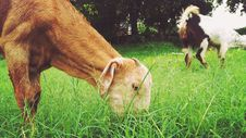 Free Goats Eating Grass Royalty Free Stock Photography - 84941247