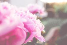 Free Pink Peony Stock Images - 84941424