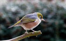 Free Silvereye. Lumix FZ200 Royalty Free Stock Photo - 84941475