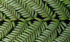 Free Dicksonia Squarrosa Wheki. NZ Fern. Royalty Free Stock Photography - 84942427