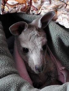 Free Joey Kangaroo Stock Images - 84942594