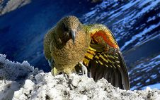 Free Kea Wing Colours. Stock Photo - 84942630
