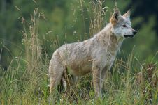 Free Gray And White Wolf On Grass Field Looking During Daytime Stock Photography - 84943732