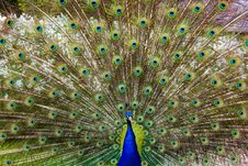 Free Close-up Of Peacock Feathers Royalty Free Stock Photos - 84943808