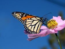 Free Monarch Butterfly On Cosmos. Royalty Free Stock Photo - 84945645