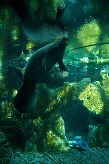 Free Manatee Underwater Royalty Free Stock Image - 84945836