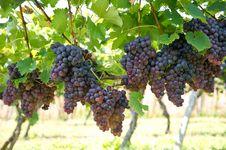 Free Grape Stock Photo - 84946390