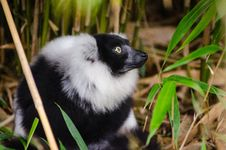 Free Black And White Ruffed Lemur Royalty Free Stock Photography - 84946537