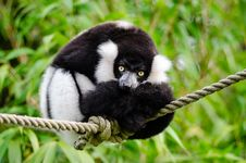 Free Black And White Ruffed Lemur Royalty Free Stock Image - 84946596