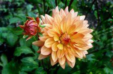 Free Orange Ruby. Dahlia Stock Photo - 84946670
