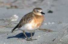Free New Zealand Dotterel. Royalty Free Stock Photography - 84946977