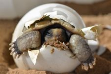 Free Baby Desert Tortoise Stock Photos - 84948573