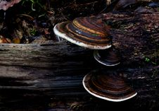 Free Bracket Fungi. Royalty Free Stock Photo - 84948935