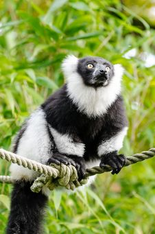 Free Black And White Ruffed Lemur Stock Images - 84949504