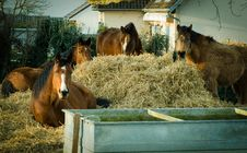 Free Horses Eating Dried Hay Royalty Free Stock Image - 84949506