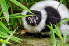 Free Black And White Ruffed Lemur Royalty Free Stock Images - 84949629