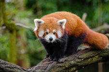 Free Red Panda Royalty Free Stock Images - 84949759