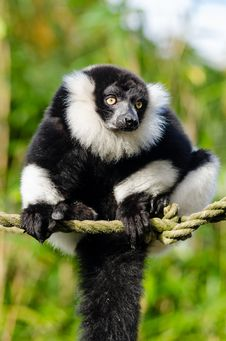 Free Black And White Ruffed Lemur Stock Images - 84949834