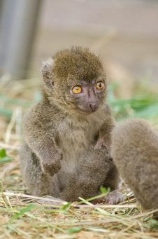 Free Greater Bamboo Lemur Baby Royalty Free Stock Images - 84949959