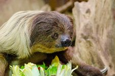 Free Two-toed Sloth Royalty Free Stock Photography - 84950217