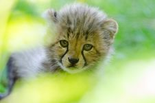 Free Cheetah Cub Royalty Free Stock Photo - 84950265