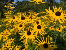 Free Group Of Yellow Sunflowers Royalty Free Stock Photo - 84951095