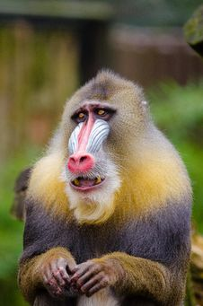 Free Mandrill Royalty Free Stock Photography - 84951907