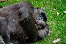Free Gorilla With Baby Stock Image - 84952051