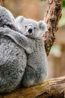 Free Koala Baby Stock Photo - 84952180