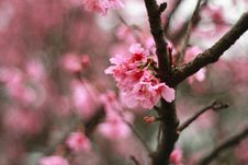 Free Pink Mountain Sakula&x28;Cherry Blossoms&x29; Royalty Free Stock Image - 84952796