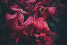 Free Close-up Of Red Flowers Royalty Free Stock Photography - 84954177