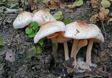 Free Macrolepiota Clelandii. Stock Image - 84954331